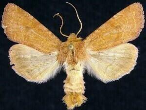 http://mothphotographersgroup.msstate.edu/species.php?hodges=9369