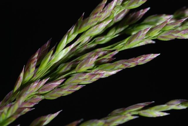 http://www.biopix.com/smooth-meadow-grass-poa-pratensis-ssp-pratensis_photo-44507.aspx