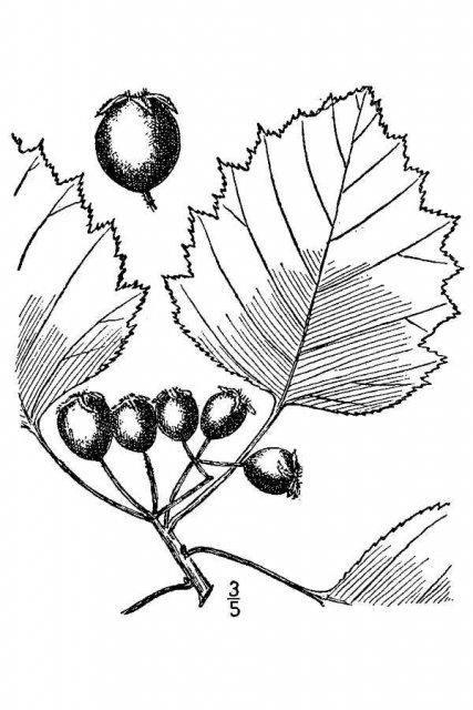 http://plants.usda.gov/java/largeImage?imageID=crco_001_avd.tif
