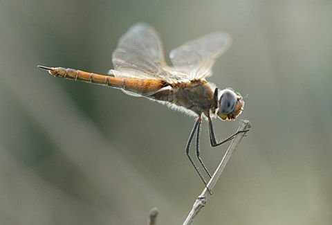 http://odonata.lifedesks.org/image/view/200/_original