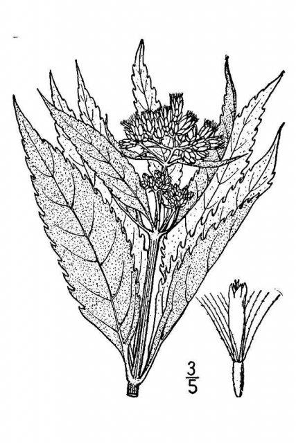 http://plants.usda.gov/java/largeImage?imageID=eubr4_001_avd.tif