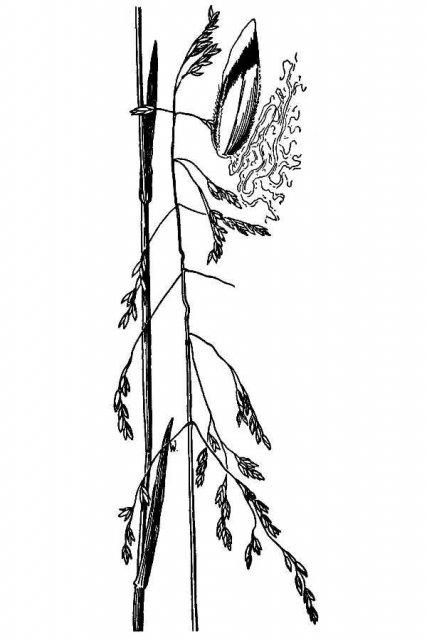 http://plants.usda.gov/java/largeImage?imageID=pore_001_avd.tif