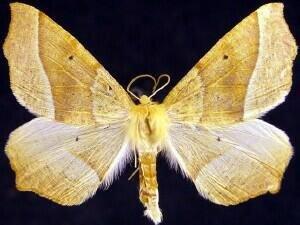 http://mothphotographersgroup.msstate.edu/species.php?hodges=6955