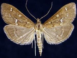 http://mothphotographersgroup.msstate.edu/species.php?hodges=5137