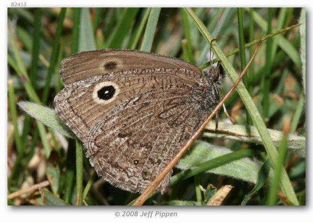 http://butterfliesofamerica.com/images/Nymphalidae/Satyrinae/cercyonis_o_oetus/Cercyonis_o_oetus_Sonora_Pass_CA_12-VII-07_5.jpg