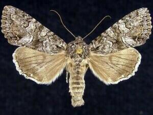http://mothphotographersgroup.msstate.edu/species.php?hodges=9346