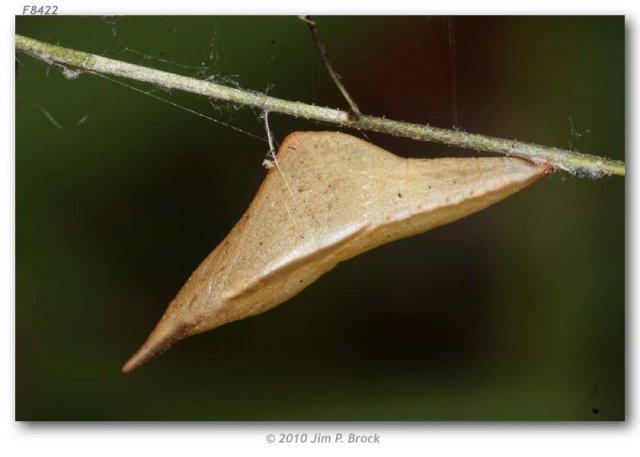 http://butterfliesofamerica.com/images/Pieridae/Pierinae/Anthocharis_sara_idc_seg/Anthocharis_sara-Isla_de_Cedros_segregate-pupa_on_Descurainia_pinnata_MX_BAJA_CA_Isle_de_Cedros_Gran_Canon_30-III-2010_2.JPG