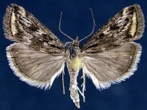 http://mothphotographersgroup.msstate.edu/species.php?hodges=5016