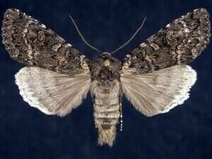 http://mothphotographersgroup.msstate.edu/species.php?hodges=10931