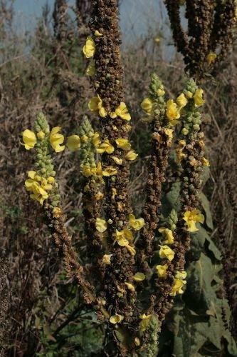 http://www.bioimages.org.uk/vfg/MWSt/CanonEOS400D+S50/2010/10-10/10-10-10/10J10J_3.jpg