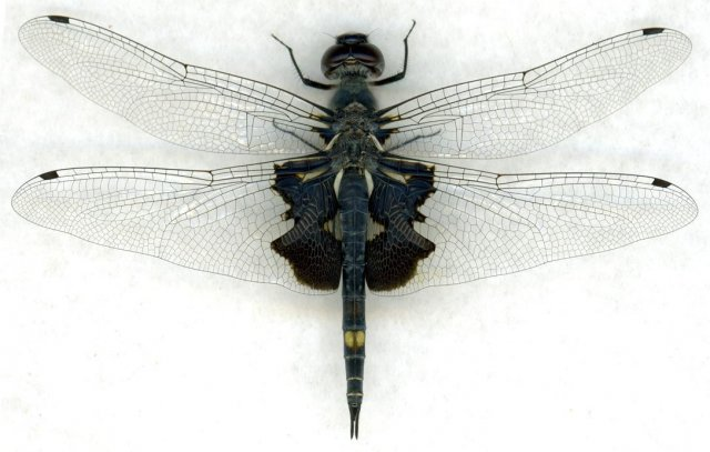 http://odonata.lifedesks.org/image/view/57/_original
