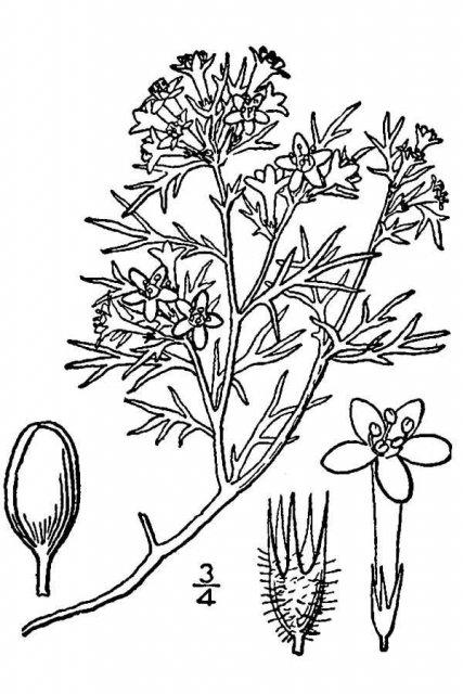 http://plants.usda.gov/java/largeImage?imageID=gipu3_001_avd.tif