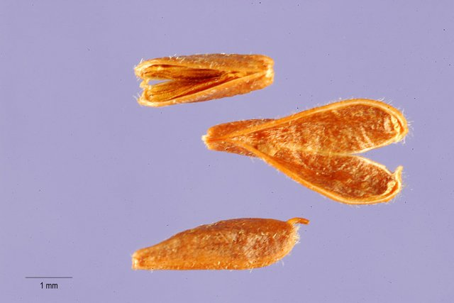 http://plants.usda.gov/java/largeImage?imageID=splu5_001_ahp.tif
