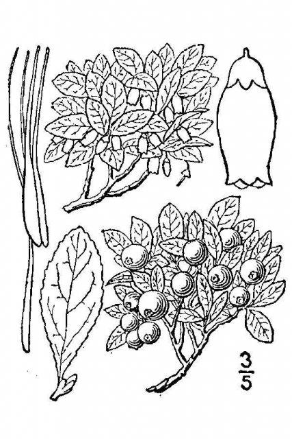 http://plants.usda.gov/java/largeImage?imageID=vace_001_avd.tif
