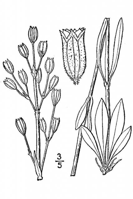 http://plants.usda.gov/java/largeImage?imageID=lydr2_001_avd.tif