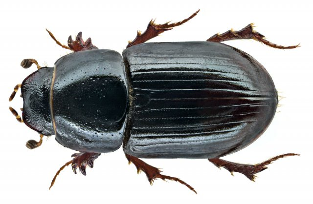 https://www.flickr.com/photos/coleoptera-us/15098840787/