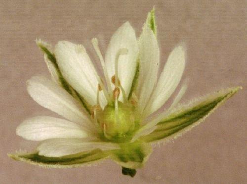 http://www.bioimages.org.uk/vfg/MWSt/Pix+OM/2001/01-06/01-06-03/01F03D+5.jpg