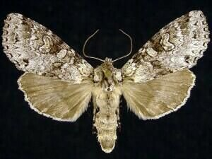 http://mothphotographersgroup.msstate.edu/species.php?hodges=10275