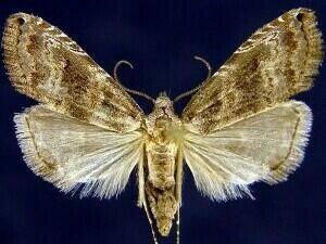 http://mothphotographersgroup.msstate.edu/species.php?hodges=8439