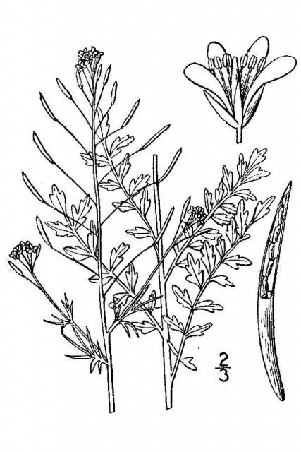 http://plants.usda.gov/java/largeImage?imageID=soin3_001_avd.tif