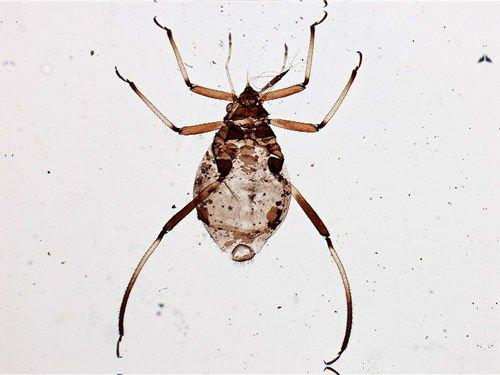 http://www.boldsystems.org/views/taxbrowser.php?taxon=Cinara+laricifex