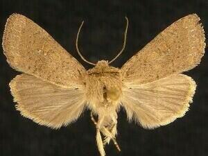 http://mothphotographersgroup.msstate.edu/species.php?hodges=10532