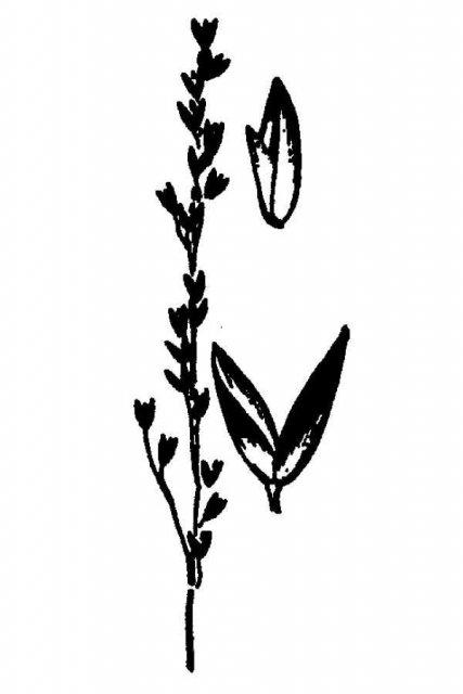 http://plants.usda.gov/java/largeImage?imageID=aghu_001_avd.tif