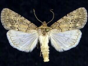http://mothphotographersgroup.msstate.edu/species.php?hodges=10119