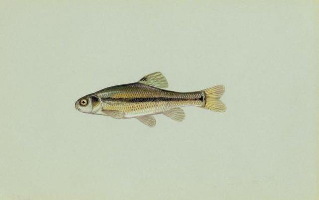http://animaldiversity.ummz.umich.edu/site/resources/usfws/fatheadminnow.jpg/medium.jpg