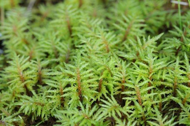 http://www.biopix.com/stair-step-moss-hylocomium-splendens_photo-62851.aspx