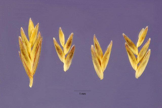 http://plants.usda.gov/gallery/large/levi4_002_lhp.jpg