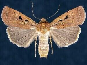 http://mothphotographersgroup.msstate.edu/species.php?hodges=11047.2