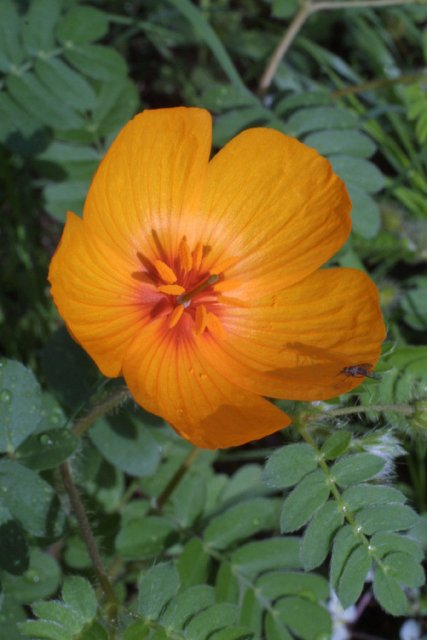 http://bioimages.vanderbilt.edu/gq/baskauf/gkagr--fl14499.jpg