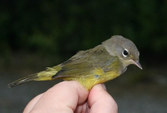 http://animaldiversity.ummz.umich.edu/site/resources/usfws/orangecrownedwarbler3.jpg/medium.jpg