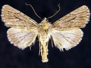 http://mothphotographersgroup.msstate.edu/species.php?hodges=10126