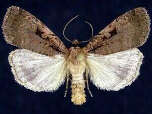 http://mothphotographersgroup.msstate.edu/species.php?hodges=11008
