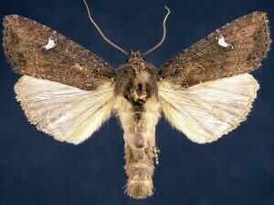 http://mothphotographersgroup.msstate.edu/species.php?hodges=9453