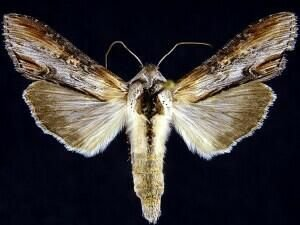 http://mothphotographersgroup.msstate.edu/species.php?hodges=10201