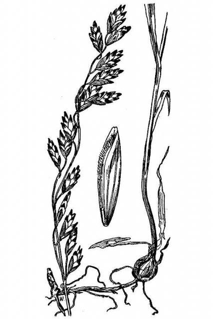http://plants.usda.gov/java/largeImage?imageID=mesp_001_avd.tif