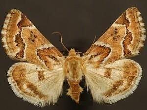 http://mothphotographersgroup.msstate.edu/species.php?hodges=11150.1