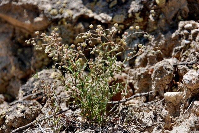 http://www.biopix.com/spergularia-diandra_photo-55929.aspx