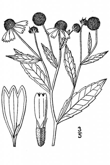 http://plants.usda.gov/java/largeImage?imageID=heau_001_avd.tif