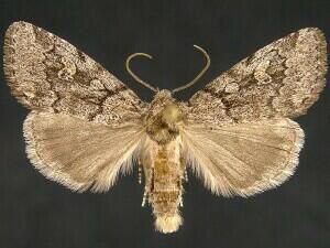 http://mothphotographersgroup.msstate.edu/species.php?hodges=9814.1