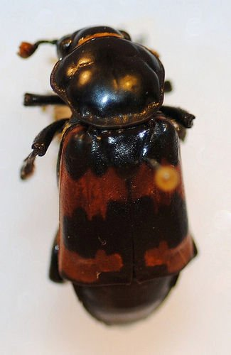 http://www.flickr.com/photos/nhm_beetle_id/4995877218/