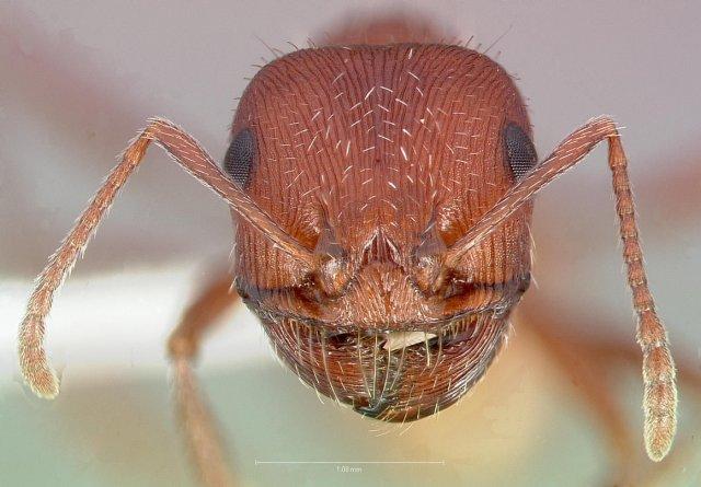 http://www.antweb.org/description.do?genus=pogonomyrmex&name=salinus&rank=species