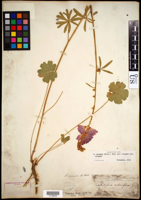 http://collections.mnh.si.edu/search/botany/?irn=10836320