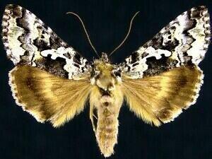 http://mothphotographersgroup.msstate.edu/species.php?hodges=8942
