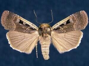 http://mothphotographersgroup.msstate.edu/species.php?hodges=11047