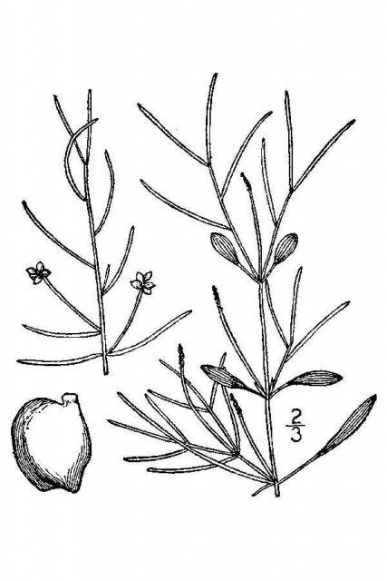 http://plants.usda.gov/java/largeImage?imageID=pola5_001_avd.tif