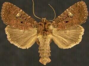 http://mothphotographersgroup.msstate.edu/species.php?hodges=10289